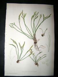 Moore Nature Printed Ferns 1860  Botanical Print. Asplenium Septentrionale 81