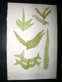 Moore Nature Printed Ferns 1860  Botanical Print. Polypodium Vulgare 3