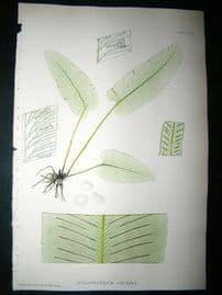 Moore Nature Printed Ferns 1860  Botanical Print. Scolopendrium Vulgare 82