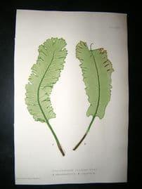 Moore Nature Printed Ferns 1860  Botanical Print. Scolopendrium Vulgare 84