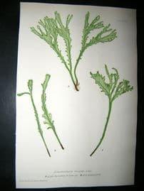 Moore Nature Printed Ferns 1860  Botanical Print.  Scolopendrium Vulgare  90A