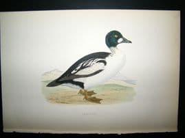 Morris 1870 Antique Hand Col Bird Print. Golden-Eye