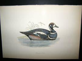 Morris 1870 Antique Hand Col Bird Print. Harlequin Duck