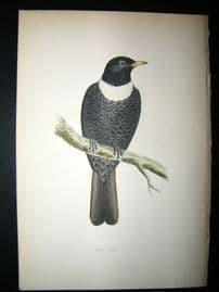 Morris 1870 Antique Hand Col Bird Print. Ring Ouzel