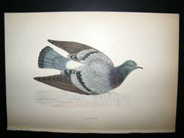 Morris 1870 Antique Hand Col Bird Print. Rock Dove