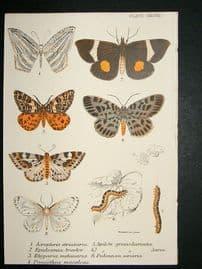 Moth Print: 1897 Acropteris Striataria etc, Kirby
