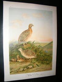 Naumann C1890's Folio Bird Print. Common Quail 6-14