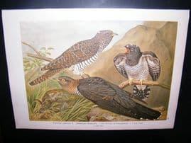 Naumann C1890's Folio Bird Print. Cuckoo 4-43