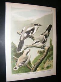 Naumann C1890's Folio Bird Print. Great Grey Shrike 4-15