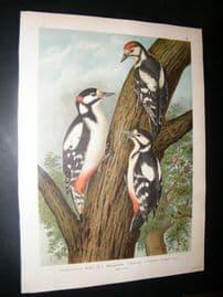 Naumann C1890's Folio Bird Print. Great Spotted Woodpecker 4-31
