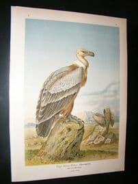 Naumann C1890's Folio Bird Print. Griffon Vulture 5-63