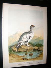 Naumann C1890's Folio Bird Print. Grouse 6-10