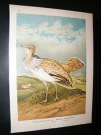 Naumann C1890's Folio Bird Print. Macqueeni 7-7
