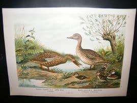 Naumann C1890's Folio Bird Print. Northern Pintail & Shoveler 10-8