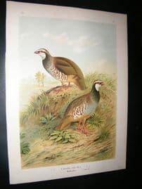 Naumann C1890's Folio Bird Print. Red Legged Partridge 6-17