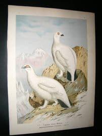 Naumann C1890's Folio Bird Print. Rock Ptarmigan 6-6