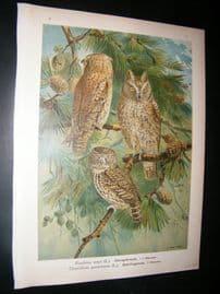 Naumann & Keulemans C1890's Folio Bird Print. Eurasian Scops & Pygmy Owl 5-3