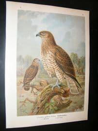 Naumann & Keulemans C1890's Folio Bird Print. Short Toed Snake Eagle 5-32
