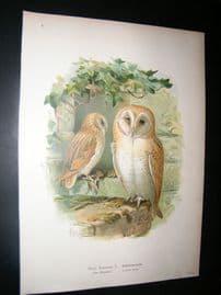 Naumann & Keulemans C1890's Folio Bird Print. Western Barn Owl 5-1