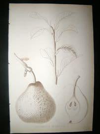 Pomologie de La France C1865 Fruit Print. Bergamotte de Parthenay, Pear 146