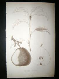 Pomologie de La France C1865 Fruit Print. Beurre Curtet, Pear 77