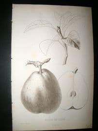 Pomologie de La France C1865 Fruit Print. Beurre de lucon, Pear 15