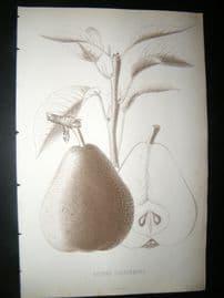 Pomologie de La France C1865 Fruit Print. Beurre Sterckmans, Pear 23