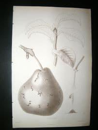 Pomologie de La France C1865 Fruit Print. Catillac, Pear 78