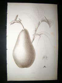 Pomologie de La France C1865 Fruit Print. Cure, Pear 18