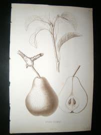 Pomologie de La France C1865 Fruit Print. Epine-Dumas, Pear 31