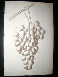 Pomologie de La France C1865 Fruit Print. Milhaud du Pradel, Grapes 5