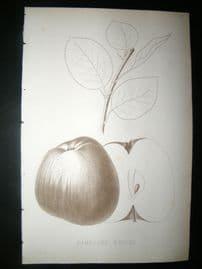 Pomologie de La France C1865 Fruit Print. Rambour d'Hiver, Apple 43