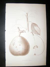 Pomologie de La France C1865 Fruit Print. Seigneur Esperen, Pear
