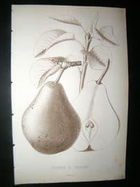 Pomologie de La France C1865 Fruit Print. Triomphe de Jodoigne, Pear 24