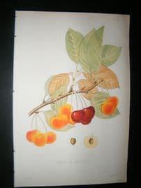 Pomologie de La France C1865 Hand Col Fruit Print. Cerise a Trochet, Cherries 21