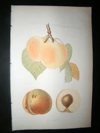 Pomologie de La France C1865 Hand Col Fruit Print. de Nancy Plumbs 5