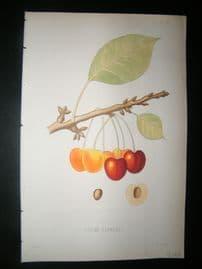 Pomologie de La France C1865 Hand Col Fruit Print. Guigne Blanche Cherry 20