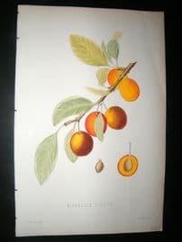 Pomologie de La France C1865 Hand Col Fruit Print. Mirabelle Tardive Plum 20