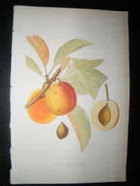 Pomologie de La France C1865 Hand Col Fruit Print. P. de Jefferson  28