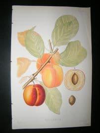Pomologie de La France C1865 Hand Col Fruit Print. Washington 24