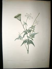 Redoute 1805 Folio Hand Col Botanical Print. Chaerophyllum Aureum 34