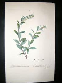 Redoute C1800 Folio Hand Col Botanical Print. Andromeda Calyculata