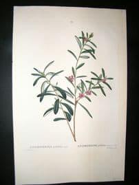 Redoute C1800 Folio Hand Col Botanical Print. Andromeda Polifolia