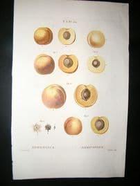 Redoute C1800 Folio Hand Col Botanical Print. Apricot Fruit