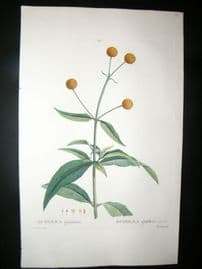 Redoute C1800 Folio Hand Col Botanical Print. Buddlea Globiflora