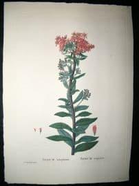 Redoute C1800 Folio Hand Col Botanical Print. Sedum Telphium