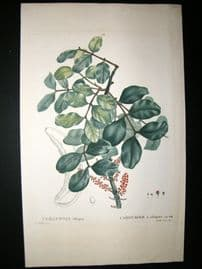 Redoute C1800's Folio Hand Col Botanical Print. Cerantonia Siliqua