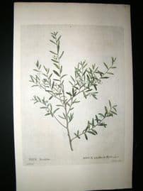 Redoute C1800's Folio Hand Col Botanical Print. Ilex Myrtifolia