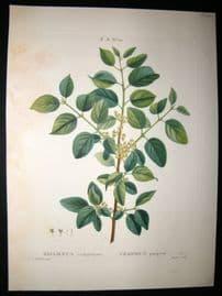 Redoute C1800's Folio Hand Col Botanical Print. Rhamnus Cathartius