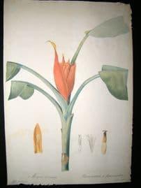 Redoute Les liliacees C1810 Folio Botanical Print. Musa Coccinea 308 Lily
